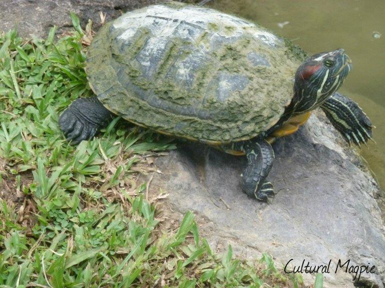 turtle magpie